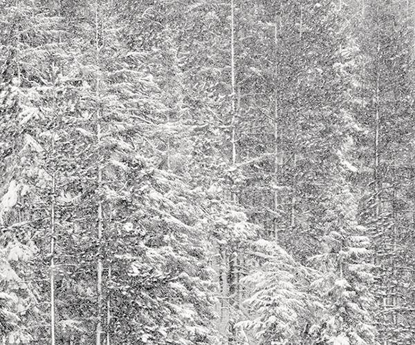 Powdered Trees 2009 gelatin silver print