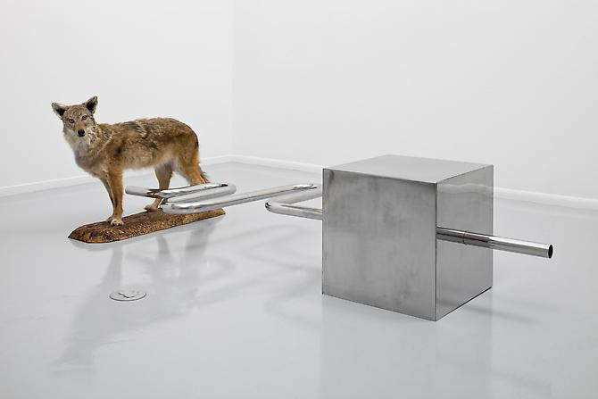 Fear of Falling  2010 Stainless steel, taxidermy coyote 29 x 47 x 95 inches