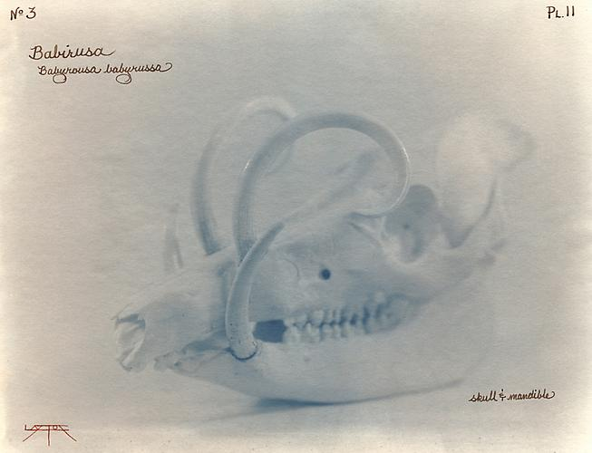 Babirusa 2002 toned cyanotype with hand coloring