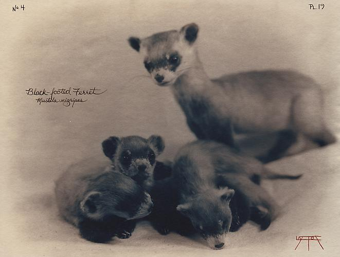 Black-Footed Ferret 2002 toned cyanotype with hand coloring