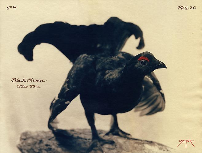 Black Grouse 2002 toned cyanotype with hand coloring