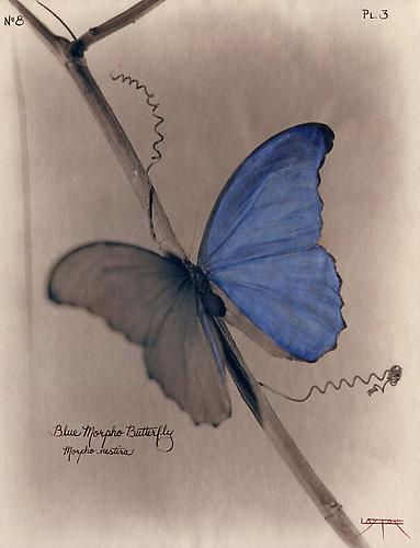 Blue Morpho Butterfly (after Heade) 2003 toned cyanotype with coloring
