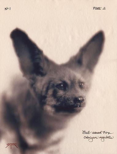 Bat-eared Fox 2003 toned cyanotype with hand coloring