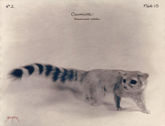 Cacomistle  2002 toned cyanotype with hand coloring