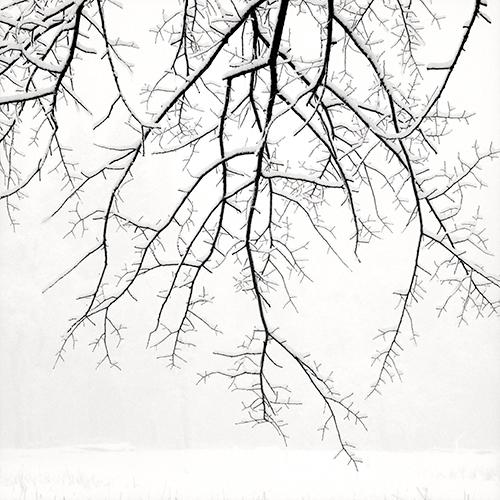 Hanging Branches with Snow 2005