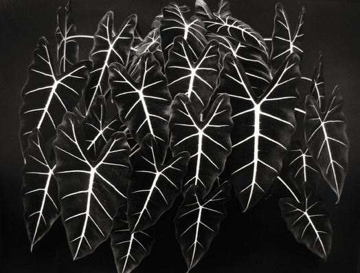 Alcocasia 'Green Velvet' Mill Valley, California 1983 gelatin silver print