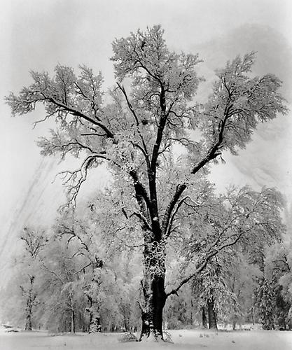 Oak Tree, Snowstorm, Yosemite National Park, California © Ansel Adams Trust 1948 Gelatin silver print