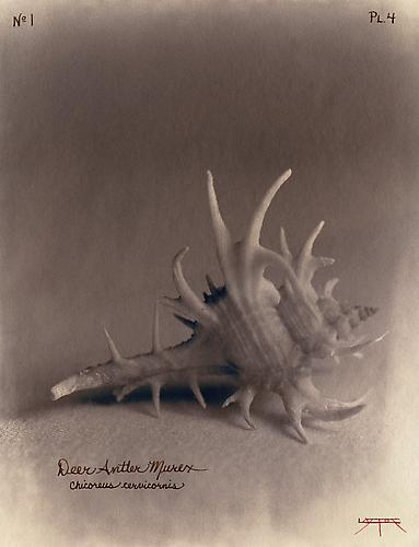Deer Antler Murex  2002 toned cyanotype with hand coloring