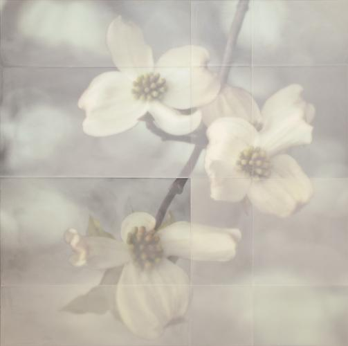 Dogwood Blossoms, 2013 encaustic on archival print mounted on wood 43 x 43 inches