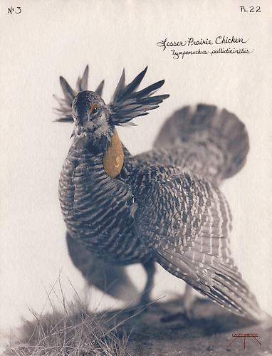 Lesser Prairie Chicken 2004 toned cyanotype with hand coloring