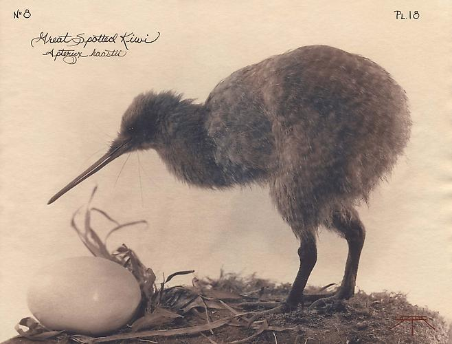 Great Spotted Kiwi 2003 toned cyanotype with hand coloring