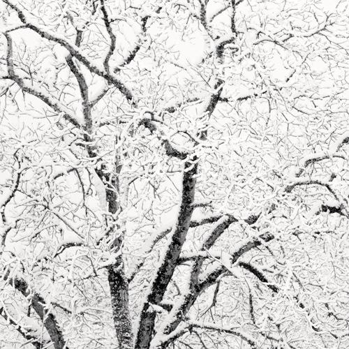 Winter Oak [detail] 2007 gelatin silver print