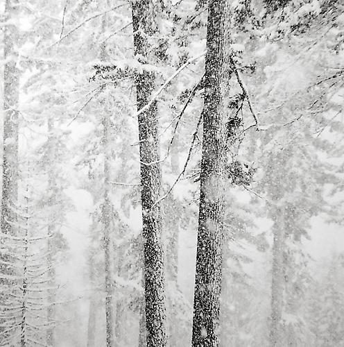 Two Trees and Falling Snow 2009 gelatin silver print