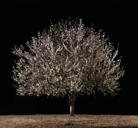 Shaked (Almond) , 2011 C-Print 37.5 x 40.25 inches, 26 x 27.5 inches, or 16.5 x 17.5 inches