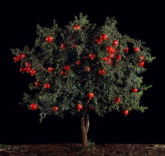 Rimon (Pomegranate) , 2010 C-Print 48.25 x 51 inches, 26 x 27.5 inches, or 16.5 x 17.5 inches