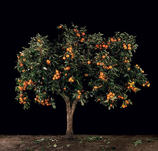 Afarsemon (Persimmon) , 2011 C-Print 48.25 x 51 inches, 26 x 27.5 inches, or 16.5 x 17.5 inches