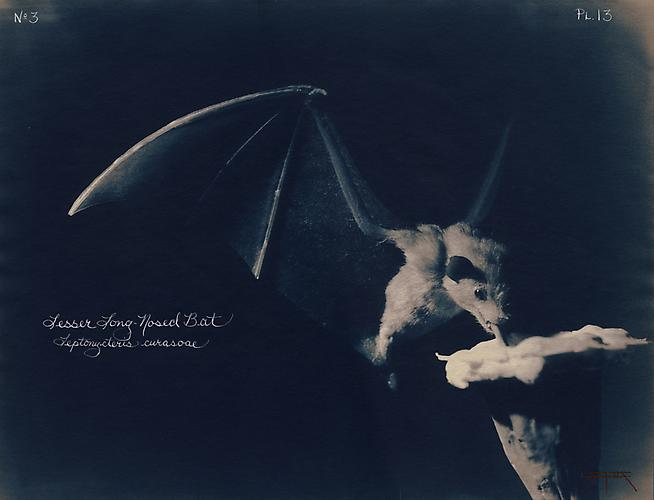 Lesser Long-Nosed Bat 2002 toned cyanotype with hand coloring