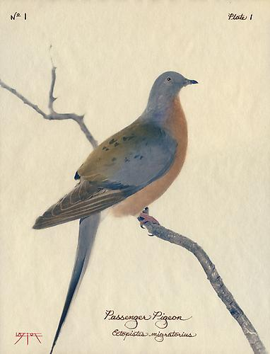 Passenger Pigeon  2002 toned cyanotype with hand coloring