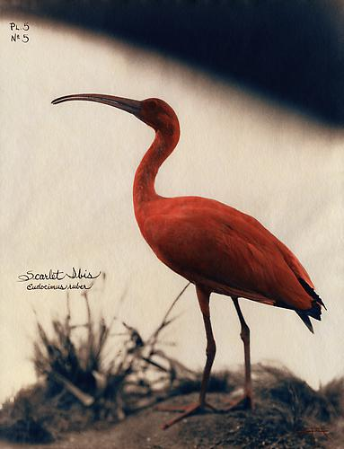 Scarlet Ibis  2002 toned cyanotype with hand coloring