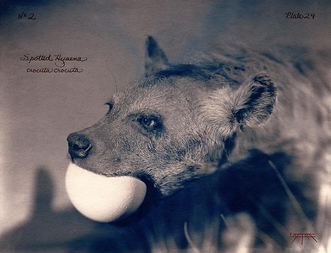 Spotted Hyaena  2002 toned cyanotype with hand coloring