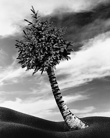 The Fir-Palm (1991/2012) Silver gelatin print (photomontage); 50h x 40w in (127h x 101.6w cm) Edition of 8 with 1 AP