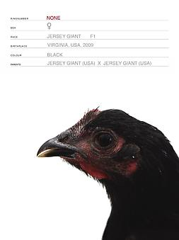 Koen Vanmechelen Mechelse Redcap x Jersey Giant (Cosmopolitan Chicken Project DC) (detail) 2009, 4 digital prints, 7.5 x 9.5 inches each Edition of 10, Call gallery for details