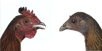 KOEN VANMECHELEN Red Jungle Fowl 2013, lambda print on plexiglas, diptych, 24 x 24 inches (each), edition: 5