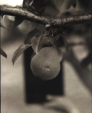 Pear, 2000