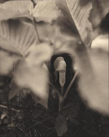 Jack in the Pulpit, 2000