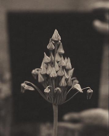Nectaroscordum, 2000