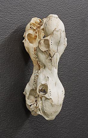 4-headed 2014 skull of deer 16 x 29 x 20 cm