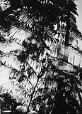 Daido Moriyama Hawaii, 2007/2008 Black and white photograph Unique  59 x 39 3/8 inches C18860