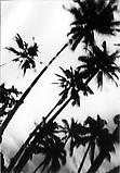 Daido Moriyama Hawaii, 2007 Black and white photograph Unique  59 x 39 3/8 inches C18862