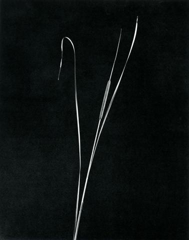 <i>Cattail</i>, 1983