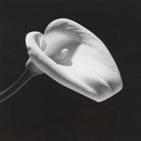 &lt;i&gt;Calla Lily&lt;/i&gt;, 1984