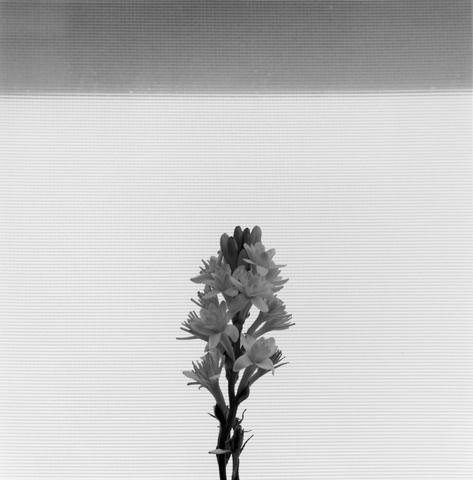 <i>Tuberose</i>, 1977