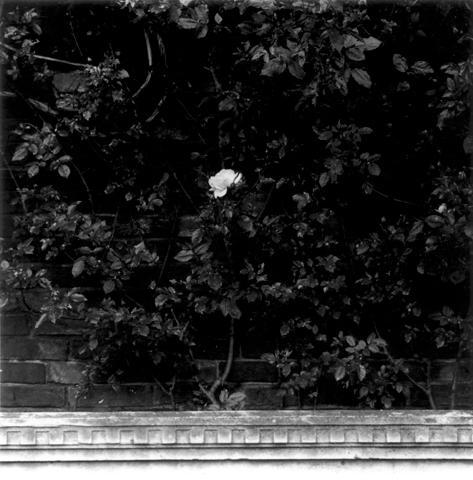 <i>Rose</i>, 1977