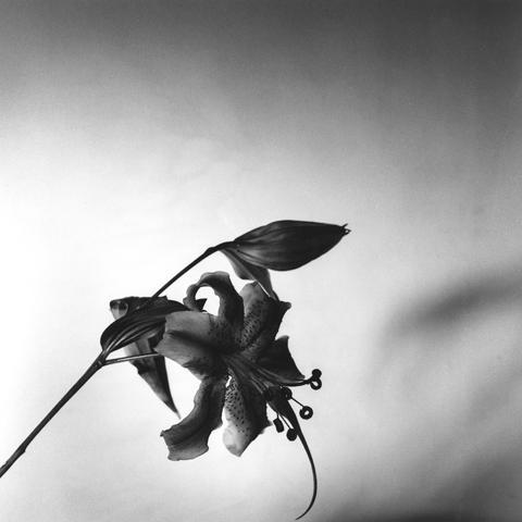 <i>Lily</i>, 1977