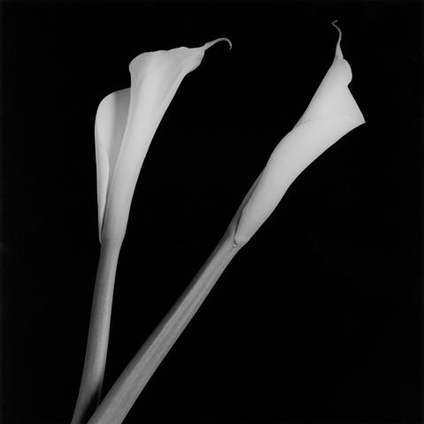 <i>Calla Lily<i/>, 1985
