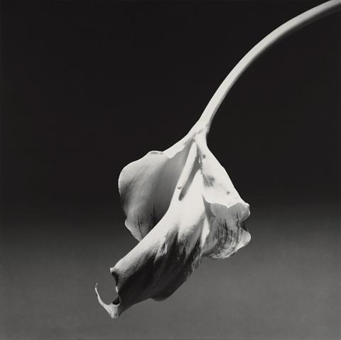 <i>Calla Lily</i>, 1986
