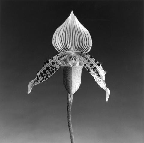 <i>Orchid</i>, 1987
