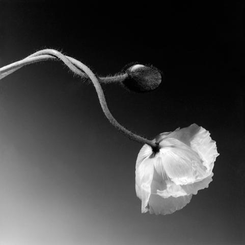 <i>Poppy</i>, 1988