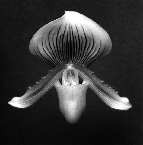 <i>Orchid</i>, 1988