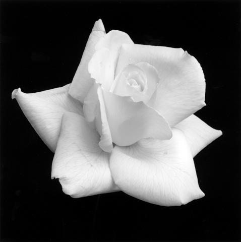 <i>Rose</i>, 1989