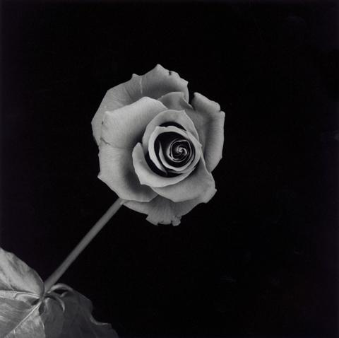 &lt;i&gt;Rose&lt;/i&gt;, 1989