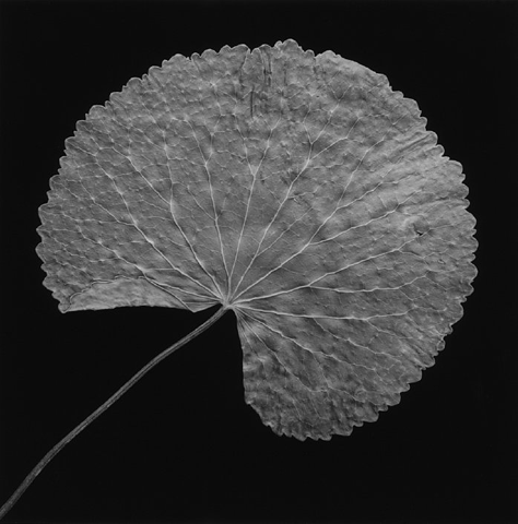 <i>Leaf</i>, 1989