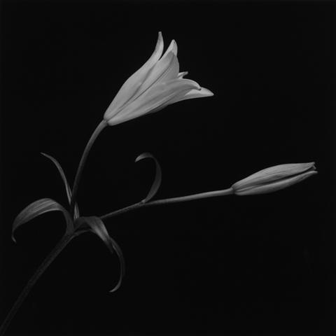 <i>Lily</i>, 1989
