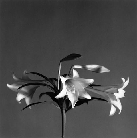&lt;i&gt;Easter Lilies&lt;/i&gt;, 1979