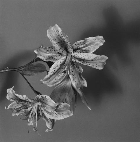 <i>Lily</i>, 1979