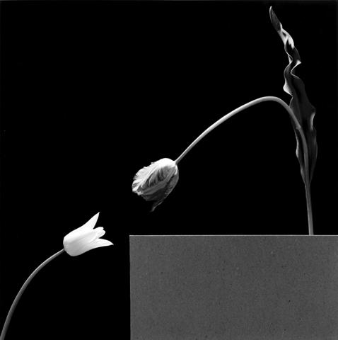 <i>Two Tulips</i>, 1984